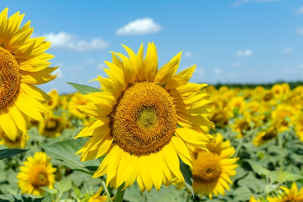 Подсолнухи на голубом небе. сельское хозяйство сельское хозяйство экономика концепция.