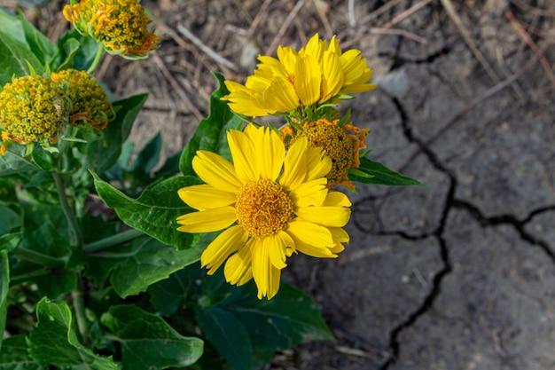 Желтый цветок на сухой потрескавшейся земле. экологические проблемы с водой, концепция жизненной победы