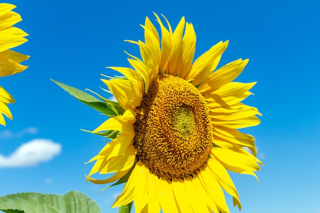 Подсолнухи на фоне голубого неба. сельское хозяйство сельское хозяйство экономика агрономия концепция.