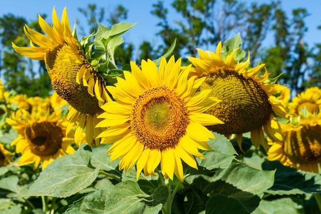 Подсолнухи на голубом небе. сельское хозяйство сельское хозяйство сельское хозяйство агрономия концепция