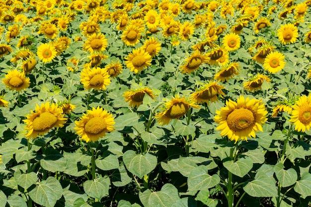 Подсолнухи сельское хозяйство сельское хозяйство сельское хозяйство агрономия концепция