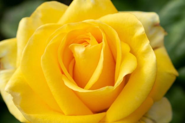 美しい黄色いバラの花をソフトフォーカスを閉じます