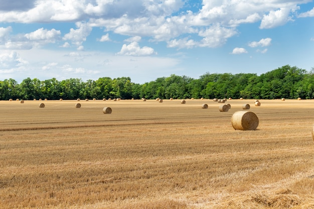 収穫された穀物小麦大麦ライ麦穀物畑