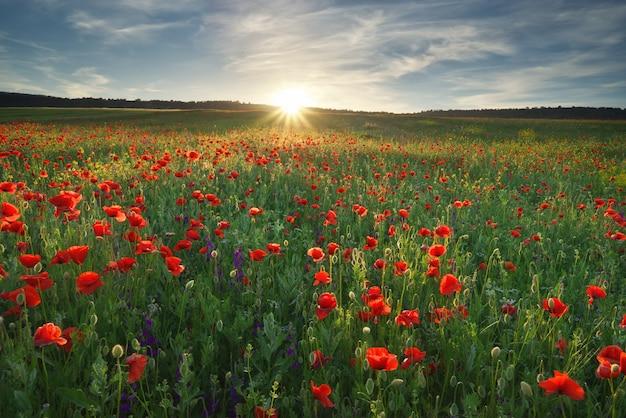 ケシの花の春メドー