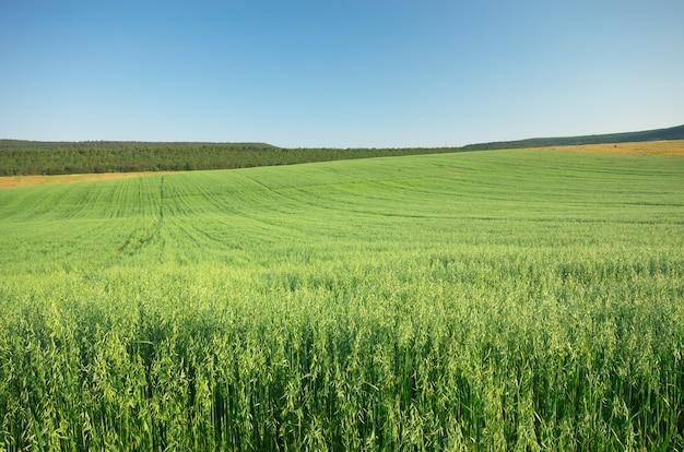 エンバクの草原。
