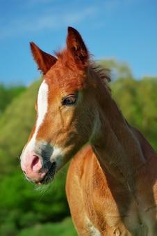 子馬の肖像画。