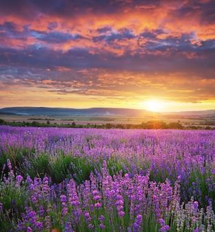 ラベンダーの草原。自然の風景の構成。