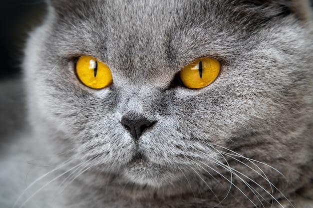 Крупным планом фото головы серого кота с желто-оранжевыми глазами