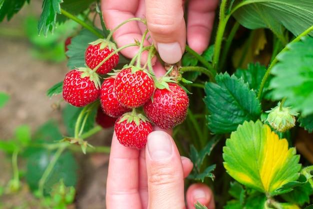 女性の手で熟した赤いジューシーなイチゴ