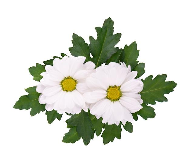 Белая хризантема с зелеными листьями, изолированные на белом. цветок ромашка. вид сверху.