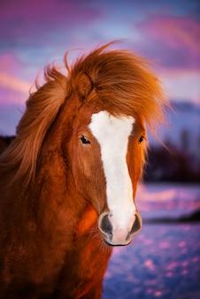 長いたてがみを持つ美しい赤い馬。夕日を背景にアイスランドの馬の肖像画。