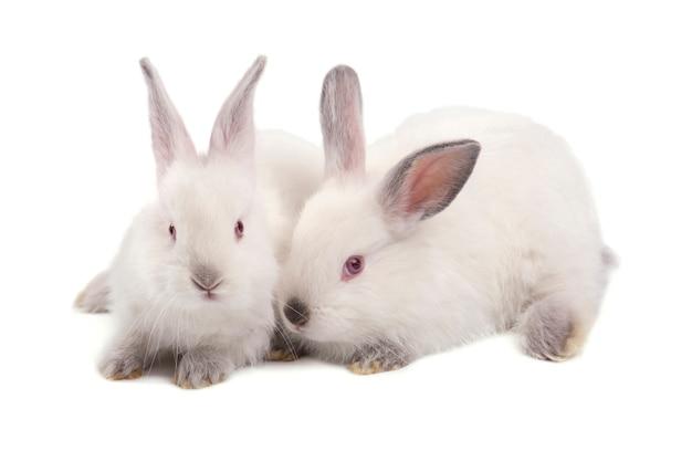 Два белых маленьких кролика на белом фоне