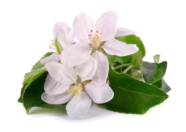 Цветы яблони изолированы. весенние цветы