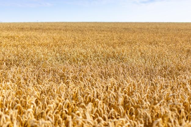 チェコ共和国の青い空の下で熟した黄色い小麦のゴールドフィールド