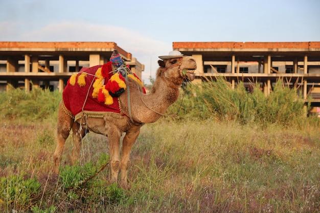 Необычный туристический верблюд