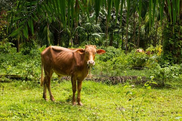 プーケットの熱帯林で牛します。