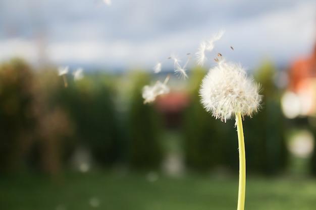 風に種を吹くタンポポ