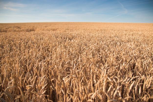 バックグラウンドで青い空と黄金の麦畑