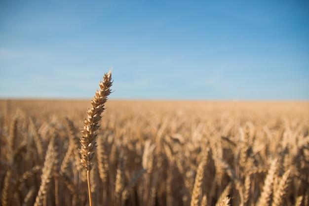 青い空と黄金の麦畑