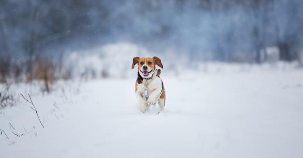 Счастливый бигл собака работает на поле в зимний период