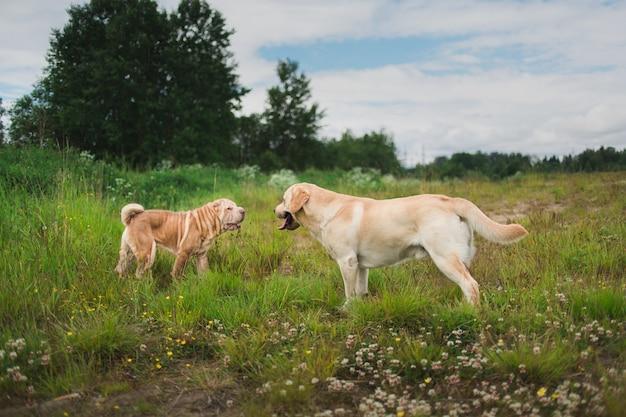Две милые собаки, золотисто-золотой лабрадор и шарпей, знакомятся и приветствуют друг друга, нюхая