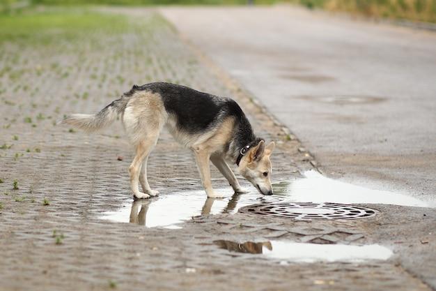 Портрет собаки пьет воду из лужи