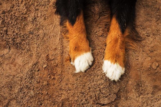 バーニーズマウンテンドッグの足
