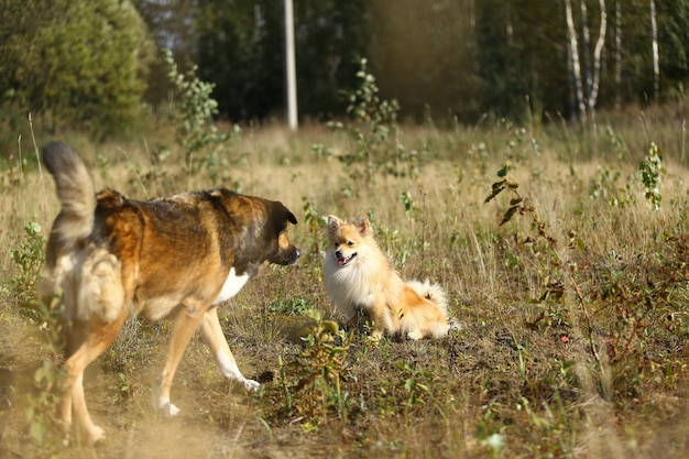 小さなポメラニアンスピッツと夏の日にフィールドを歩いて大きな雑種犬