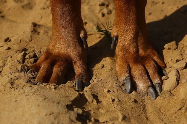 砂地のローデシアン・リッジバック犬の足で上からの眺め