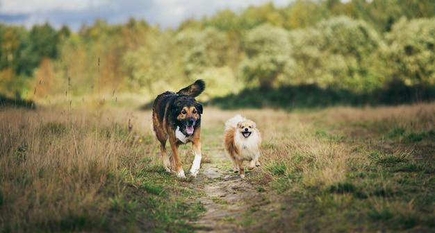 フィールド上を歩くポメラニアンスピッツと雑種犬