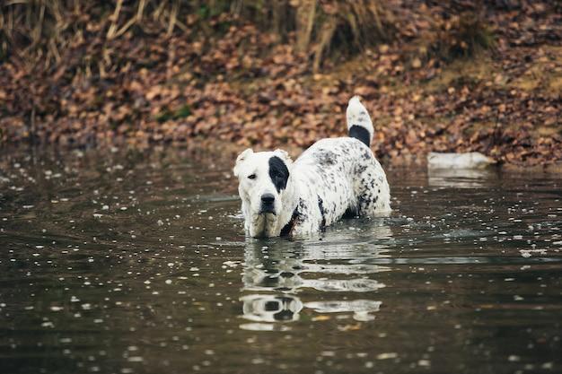Среднеазиатская овчарка купается в озере