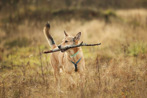 牧草地で走っている赤い雑種犬