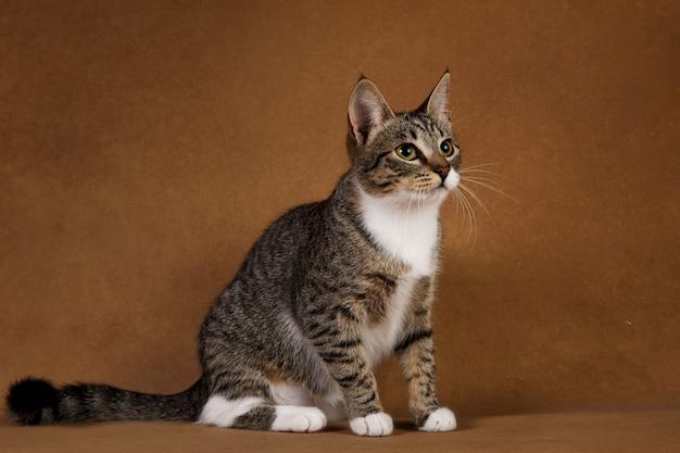 Серо-белая полосатая кошка сидит