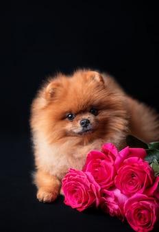 暗い背景に紫のバラのポメラニアン犬。花と犬