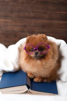 Умная померанская собака с книгой. собака приютилась в одеяле с книгой.