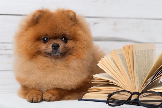 Умная померанская собака с книгой.