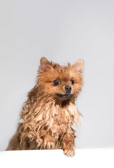 手入れの行き届いた犬。グルーミング。ポメラニアン犬のグルーミング。シャワーを浴びている犬。
