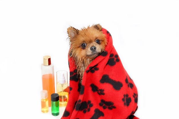 手入れの行き届いた犬。シャワーを浴びているポメラニアン犬。お風呂の犬。犬の毛繕い