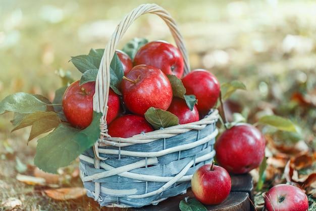 Яблоки в корзине. яблочный урожай.