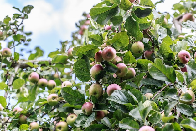Яблоня. яблоки на дереве