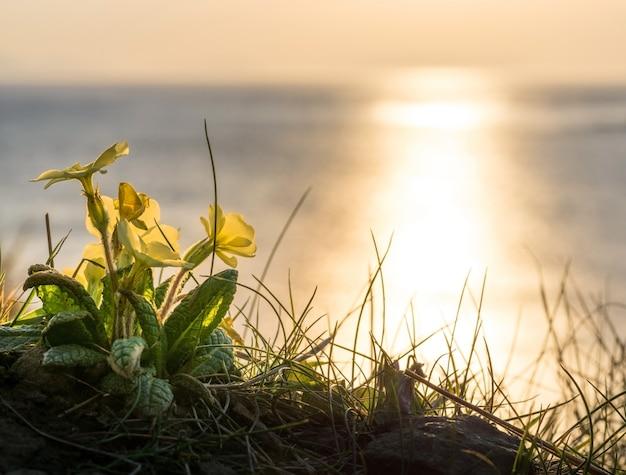 スコットランドの海岸の黄色い花と黄金の夕日