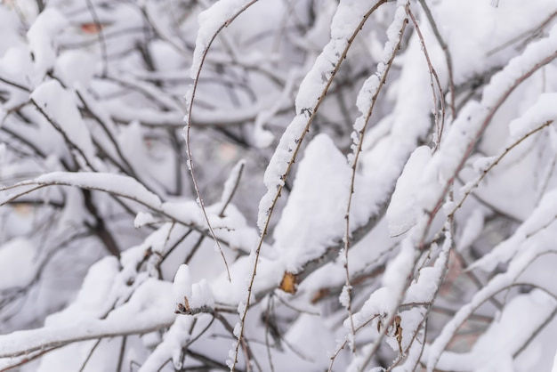 冬、木の枝の雪、パターン雪の降る曇りの冬の雪の茂みの枝。