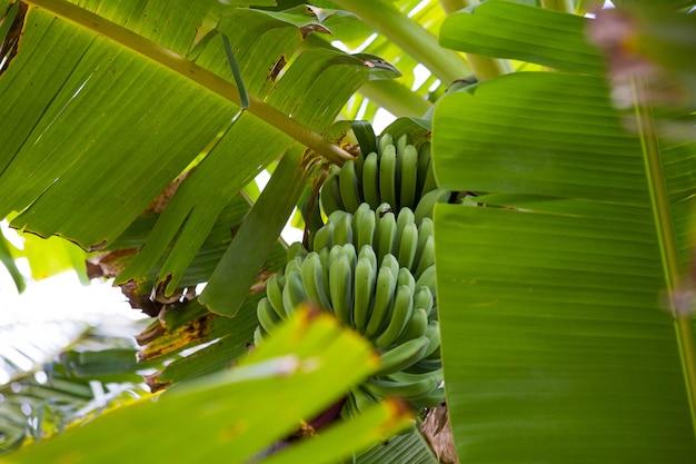 Зеленый банановый букет в дереве в джунглях крупным планом, незрелый