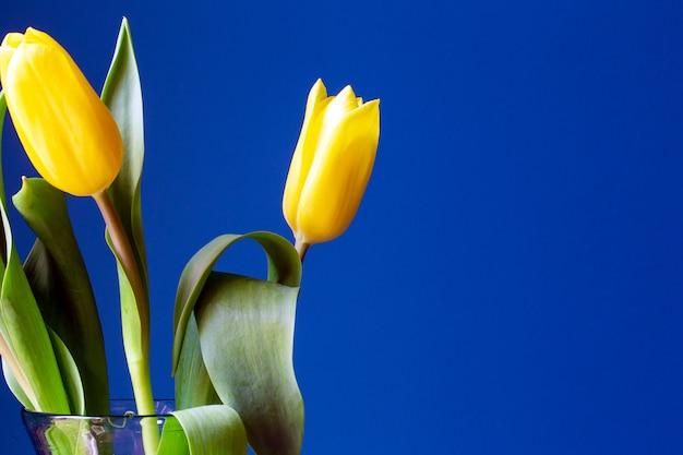 Ярко-желтые тюльпаны возле синей стены, современный ретро фон, концепция весны крупным планом