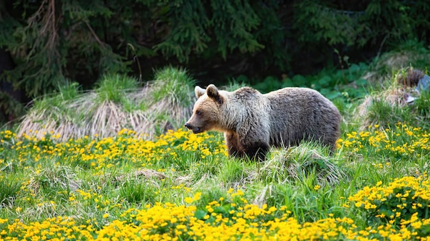 春の花と牧草地をよそ見淡い毛皮を持つブロンドのヒグマ