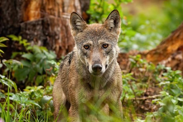 Горизонтальный портрет серого волка в его естественной среде обитания в летнее время