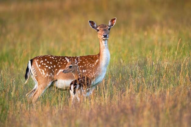 自然の中のかわいい子鹿を周りで見守り守るダマジカ