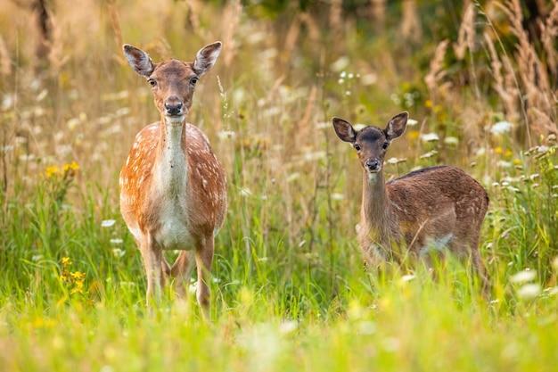 ダマジカの後ろと子鹿がカメラに向かって咲く夏の牧草地に警告する