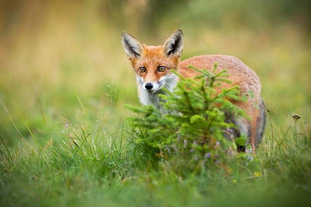 Рыжая лиса прячется за небольшой елью на поляне летом