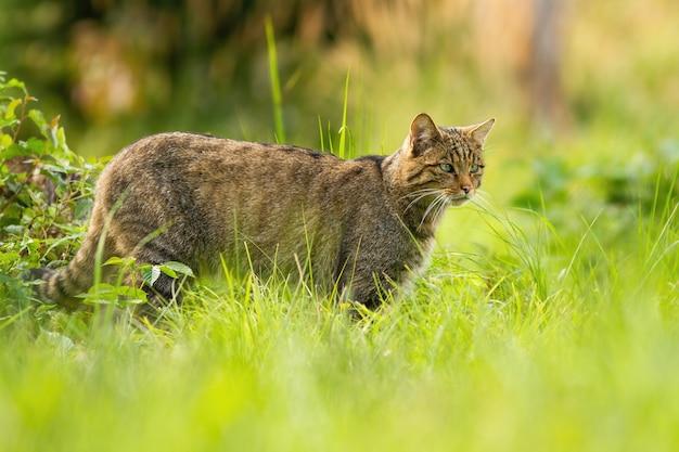 Европейская дикая кошка на охоте ищет добычу летом